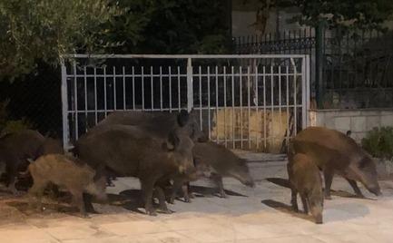 Αγριογούρουνα εισβάλλουν σε αυλές σπιτιών στον Διόνυσο
