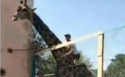 Μεθυσμένος άνδρας αποφάσισε να «ιππεύσει» καμηλοπάρδαλη (video)
